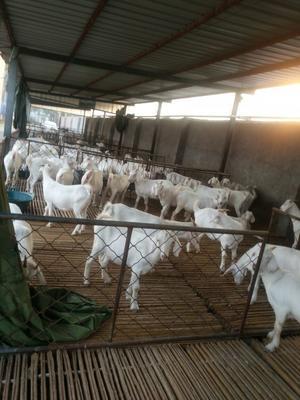 山东菏泽白山羊 80-110斤