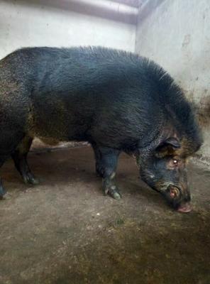 重庆重庆野猪 100斤以上 纯种野猪