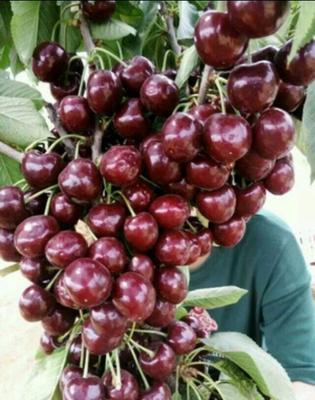 这是一张关于樱桃苗的产品图片