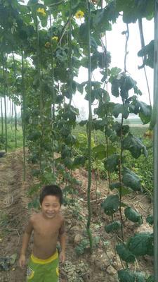 河南省新乡市延津县丝瓜种子