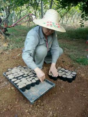 广西柳州果树苗 0.5米以下