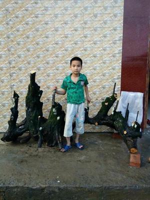 广西桂林永福县金弹子 35公分以上
