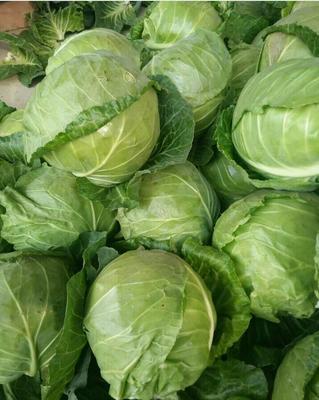 河南开封绿甘蓝 1.5~2.0斤