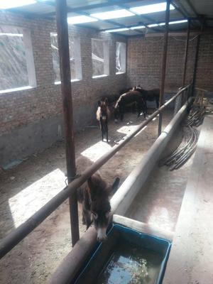 陕西榆林毛驴 100-200斤