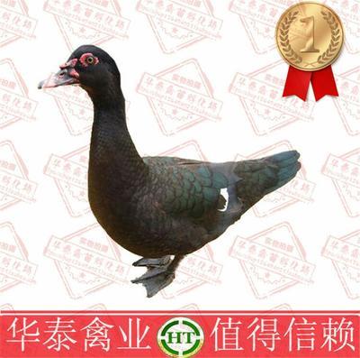 广西南宁番鸭 2斤以下 统货