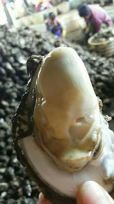 广东湛江湛江牡蛎 3-5只/公斤 人工殖养