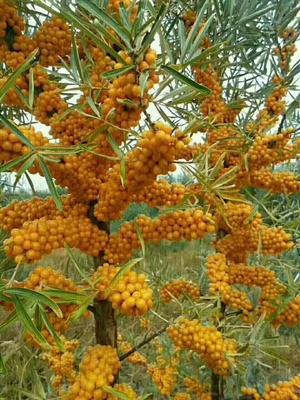 甘肃省甘南藏族自治州合作市沙棘果 橙黄色