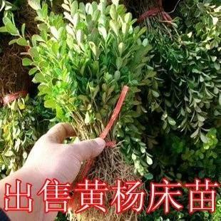 江苏宿迁小叶黄杨 黄杨苗,瓜子黄杨、黄杨球,产地自产自销