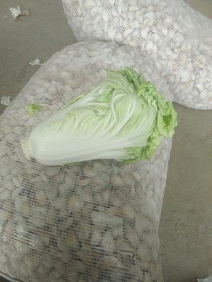 河南省开封市祥符区新绿储三号白菜 2~3斤 净菜