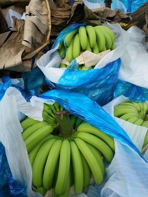 云南红河金平香蕉 七成熟 40 - 50斤 金平者米香蕉