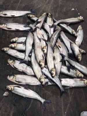 这是一张关于白条鱼 人工养殖 0.5公斤以下的产品图片