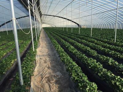 山东青岛甜宝草莓 50克以上