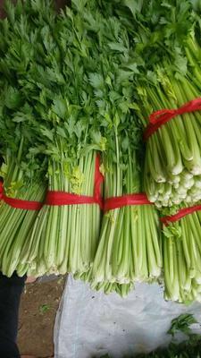 辽宁省锦州市黑山县玻璃脆芹菜 55~60cm 大棚种植 0.5斤以下