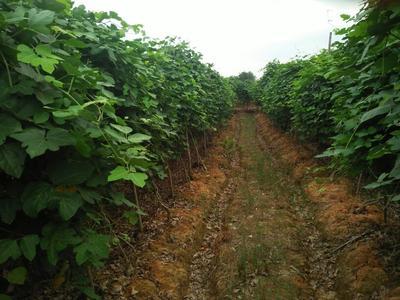广西梧州人工种植葛根 1.5-2.0斤