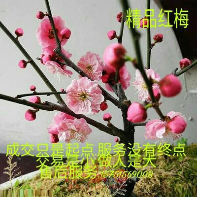 江苏宿迁红梅