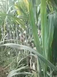 四川达州红甘蔗 4 - 5cm 1.5 - 2m