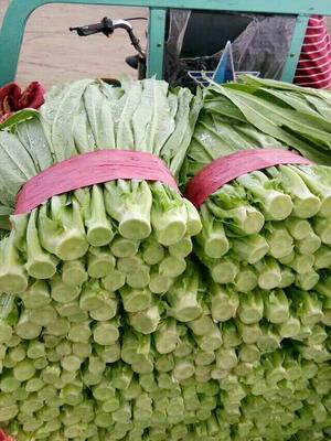 河北邯郸美冠油麦菜 20~25cm以上