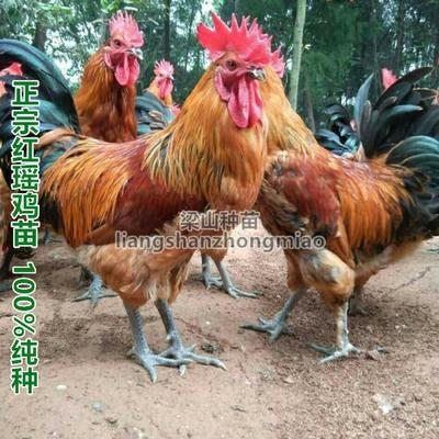 广西南宁瑶鸡苗 红
