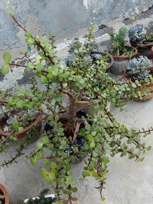 山东菏泽造型景观树