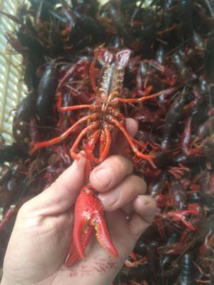 湖北随州清水小龙虾 7-9钱 人工殖养 已上规格7到10不封顶。