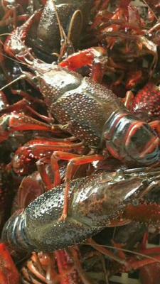 这是一张关于中国小龙虾 4-6钱 人工殖养的产品图片
