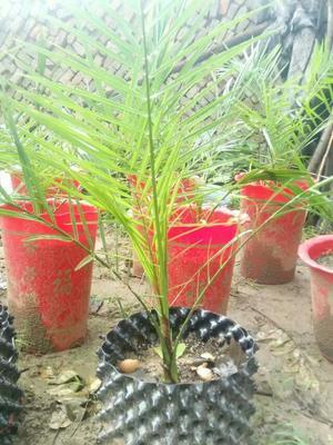 河南开封中东海枣 热带种苗园:批发椰子种苗及花卉