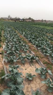 陕西省咸阳市三原县绿皇后西兰花 1.2~1.5斤 10cm以下