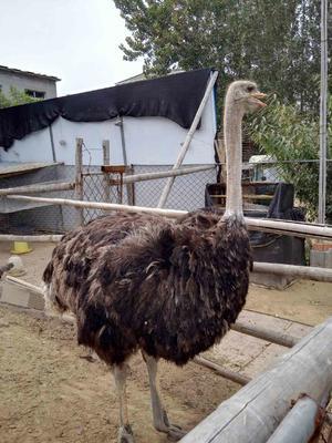 山东济宁非洲鸵鸟