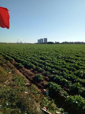 辽宁省葫芦岛市绥中县日本大根白萝卜 4斤以上