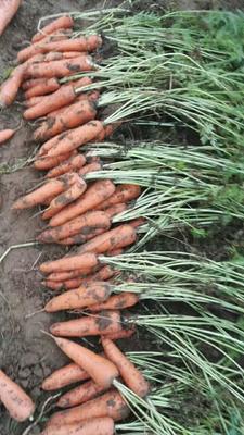 河北张家口三红胡萝卜 10~15cm 3两以上 3~4cm