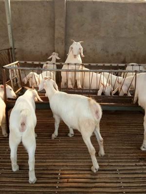 这是一张关于白山羊 50-80斤的产品图片