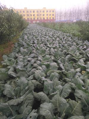 河南省周口市太康县耐寒优秀西兰花 1.5~2.0斤 20~25cm