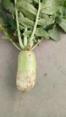 山西吕梁青皮萝卜 1~1.5斤