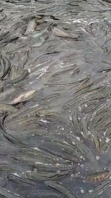 安徽省滁州市定远县乌鳢 人工养殖 1.5-2.5公斤