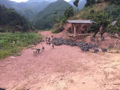 广东清远灰色珍珠鸡 2-4斤