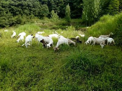 安徽六安羊骨头 1个月
