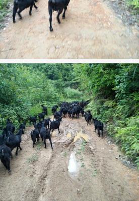 广西崇左黑山羊 30-50斤