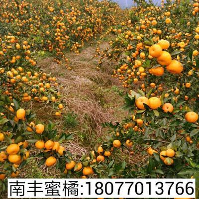 这是一张关于蜜桔 3.5 - 4cm 1.5 - 2两的产品图片