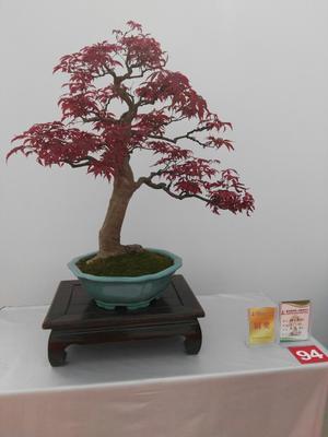 江苏苏州美国红枫/红花槭