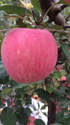 这是一张关于红富士苹果 80mm以上 纸袋 条红 苹果红富士苹果的产品图片
