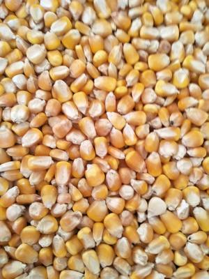 安徽亳州玉米干粮 净货 霉变≤1%