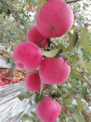 陕西西安洛川苹果 80mm以上 纸袋 条红