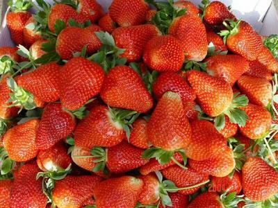 这是一张关于达塞草莓苗 地栽苗 20~30公分的产品图片