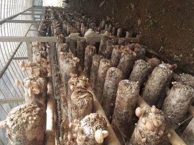 这是一张关于香菇808 2.5~3.0cm 一级的产品图片