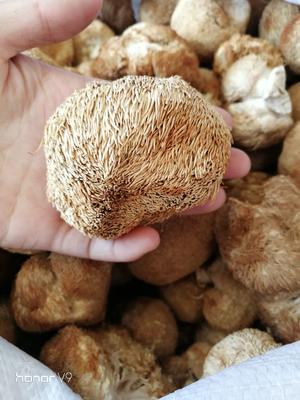 安徽亳州谯城区东北猴头蘑 3~5cm