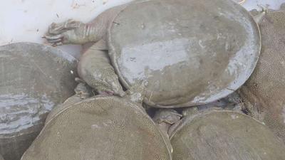 这是一张关于野生甲鱼的产品图片