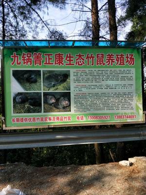 重庆重庆银星竹鼠 2-4斤
