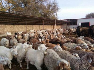 新疆乌鲁木齐绵羊 30-50斤