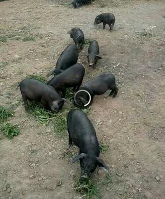 甘肃临夏猪 60斤以上 最小18斤之最大60斤(3年过)
