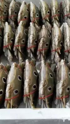 福建漳州金鲳鱼 人工养殖 1-1.5公斤